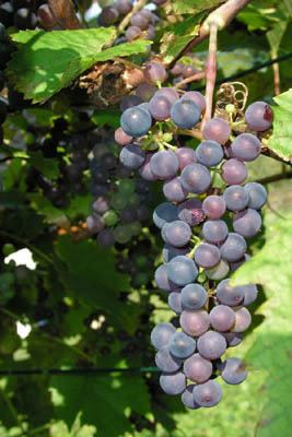 Baco Noir Grapes